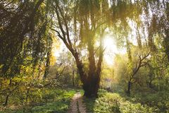 Willow tree in park Royalty Free Stock Photo