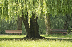 Willow tree in the park. Royalty Free Stock Photos