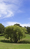 Willow tree in a park Stock Image