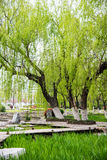 Willow tree in park Stock Image