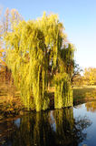 Willow tree in a park in warm colors of sunset Stock Photography