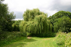 Willow Tree piangente immagini stock