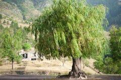 Willow Tree pleurante images libres de droits