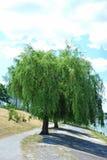 Willow Tree pleurante photos stock