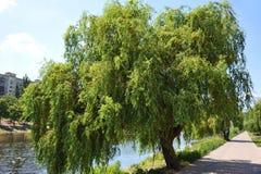 Willow Tree pleurante photo stock