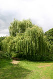 Willow Tree pleurante images stock