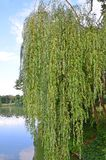 Willow Tree pleurante photographie stock