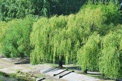 Willow Tree pleurante image stock