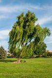 Willow Tree que llora que se inclina en el panadero Park - Frederick, Maryland Imagenes de archivo