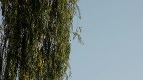 Willow Tree On que llora un fondo del cielo azul almacen de metraje de vídeo