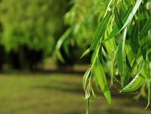 Willow tree in the rays of the evening royalty free stock images