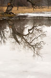 Willow tree reflected in ice Royalty Free Stock Images
