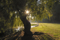 Willow tree with rising sun Royalty Free Stock Photo