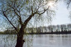 The Willow Tree On The River Bank In The Spring. The willow tree blossomed on the river bank in the spring. A tree on the other side of the river and  the sun royalty free stock image
