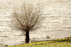 Willow tree on the riverbank Stock Image