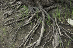 Willow Tree Roots Royalty Free Stock Images