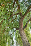 Willow tree. Salix. Stock Image