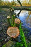 Willow tree. Sawed white willow trees at a river stock photo