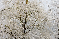 Willow tree with snow Royalty Free Stock Images