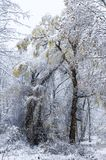 Willow tree in snowstorm royalty free stock images