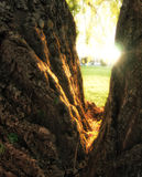 Willow Tree. Split trunk of an old Willow tree royalty free stock image