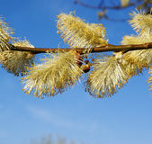 Willow tree on spring Stock Photography