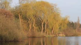 Willow tree in spring at lake stock video