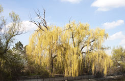 Willow tree in spring - RAW format Stock Image