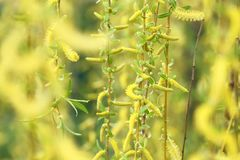 Willow tree in spring. In close up view. Weeping willow macro shot background Royalty Free Stock Photography