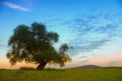 Willow tree standing alone. On a field Stock Photos