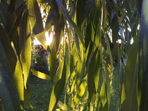 Willow tree and sun. Glowing willow tree leaves lit by the sun Stock Photography