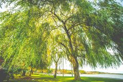 Willow tree at sun light royalty free stock photography
