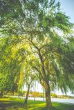 Willow tree wide view. Willow tree at sun light, early fall landscape stock photos