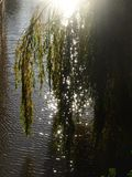 Willow tree and sunlight. Willow tree by a river Stock Photography