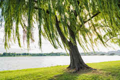 Willow tree swaying in wind by Potomac River and bridge in Washinton DC Stock Image