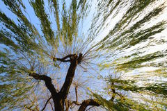 Willow tree. Taken from extreme low angle royalty free stock photography