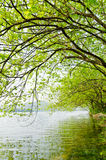 The willow tree Royalty Free Stock Photos