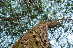 Willow tree trunk, branches, foliage. Closeup royalty free stock photo