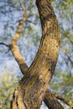 Willow tree trunk. Curvy willow tree trunk by early spring time, focus on central part Royalty Free Stock Photography