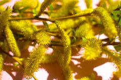 Willow tree twig close up. Willow tree flowers branch closeup stock images