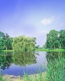 Weeping willow tree or sallow tree  in park. Willow tree by the water. Babylon willow or Salix Babylonica. Spring weeping willow tree Stock Images