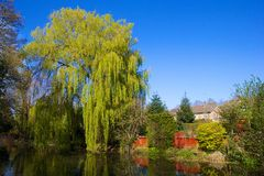 Willow tree in Water canal in Ash, Hampshire Stock Photography