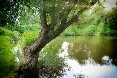 Willow tree. Weeping willow on the shore of a pond stock image