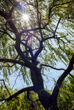 Willow Tree. A weeping willow tree with a sunlit background Royalty Free Stock Photo