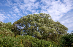 Willow tree in the wind. And blue sky royalty free stock images