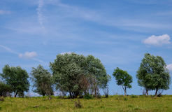 Willow tree in the wind Stock Photos