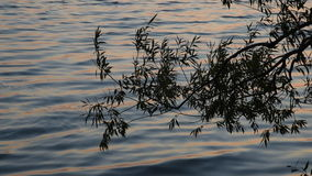 Willow Tree Wind and Waves. The leaves and branches of a Willow tree, sway in the wind and silhouette against waves rolling into shore near sundown on a summer stock video