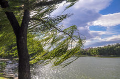 The willow tree in the wind. Which is in the Shichahai lake park is in Beijing of China stock photography
