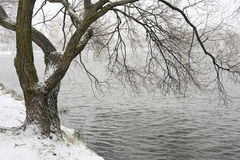 Willow tree by winter Royalty Free Stock Photography