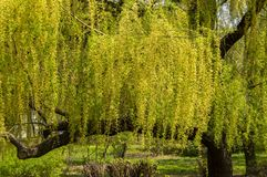 Willow tree with young foliage. Willow tree with young leaves - Earth Day stock images